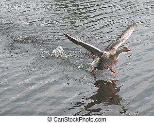 Take Off eh - goose at takeoff