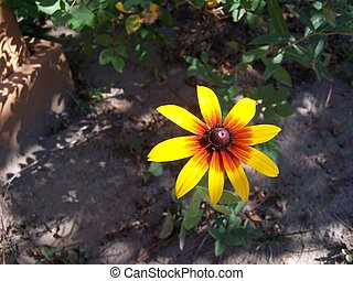 Brown Eyed Susan - single Brown Eyed susan