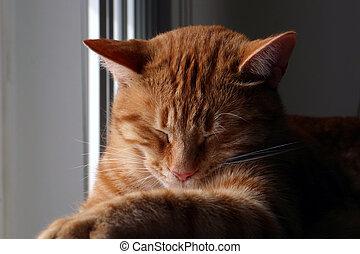Sleepie Kitty - Family pet taking a nap
