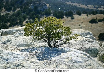 Nature Perseveres - A pinon pine growing on a rock ledge....