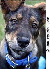 cute puppy - cute head shot of German shepherd puppy
