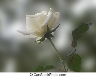 White Rose - Single White Rose pvery soft focus