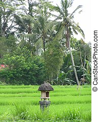 Padi Field - Picture of a Padi field taken in Bali
