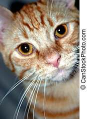 Orange Tabby - Young orange tabby cat.