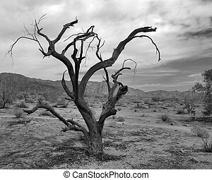 desert survivor - old tree in mojave desert