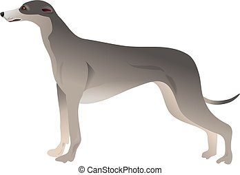 Greyhound - dog breed