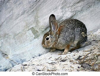 Rabbit - Small wild rabbit makes his way along a rock ledge.