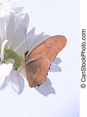 Juilia Butterbly - butterfly pirtched on a white daisy
