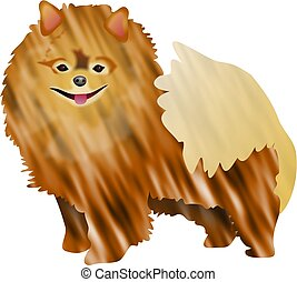 Pomeranian - dog breed