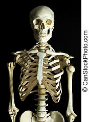 Skeleton 1 - A human skeleton on a black background