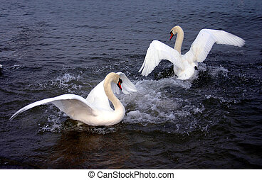 Swans fight - Made with eos 300d, in january 2005 Gdansk,...
