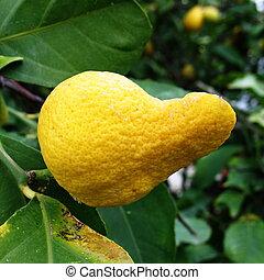 Weird lemon fruit - A lemon fruit with a weird shape