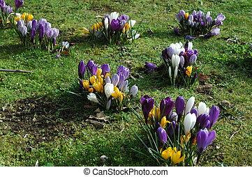 yellow and purple - crocus in garden