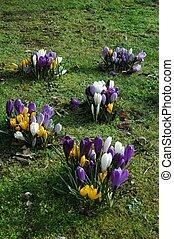 crocus field - spring flowers in bloom