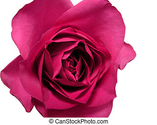 Isolated red rose with clipping path note: soft focus