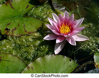 Pink water-lily - Water-lily