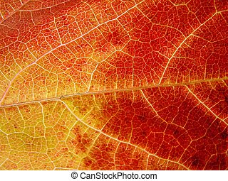 Yellow - read leaf - Close-up of yellow-red leaf, background
