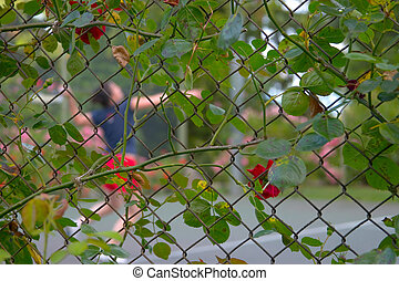 Rose Fence - Rose on fence with tennis player in background