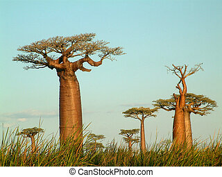 field of baobabs - Baobab trees in Madagascar.