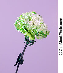 Green White Flower - Green white carnation on violet...