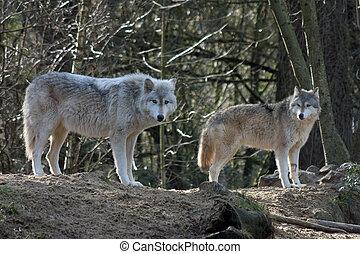 gris, lobos