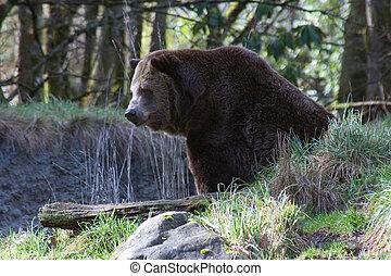 marrón, oso