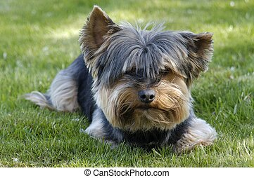 Dog on Lawn - Little Yorkshire terrier lying on the lawn.