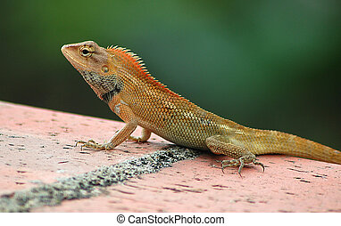 Common Tree Lizard - Closeup of Common Tree Lizard
