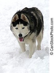 Blue Eyed Sled Dog - Huskies and malamutes are often used as...