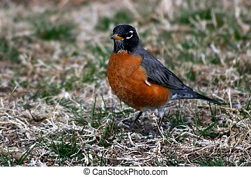Robin - Red breasted robin is a harbinger of Spring
