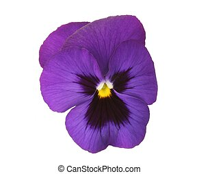 Blue Pansy - Design elements: Isolated blue pansy (Viola x...