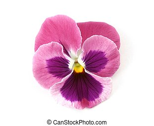 Pink Pansy - Design Elements: Isolated pink pansy (Viola x...