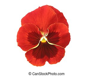 Red Pansy - Design Elements: Isolated red pansy (Viola x...