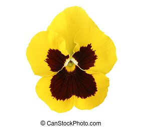 Yellow Pansy - Design Elements: Isolated yellow pasny (Viola...