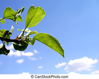 summer tree leaf - apple tree as far as I remember