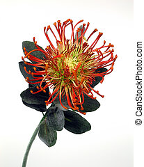 Red Protea against white background