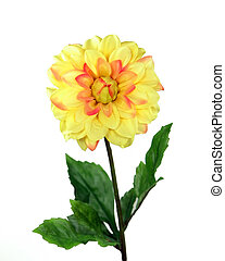 Yellow Chrysanthemum - Chrysanthemum over white