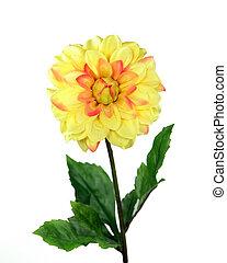 Yellow Chrysanthemum - Chrysanthemum over white