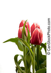 Spring Tulips - Tulips isolated on a white background A...