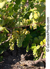 Grapes ripening in a vinyard on Santorini, Greece.