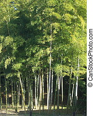Bamboo - This is a grove of bamboo trees in one of the...