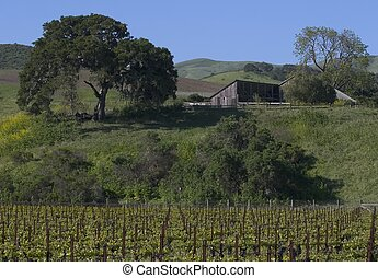 Wine Country - Vineyard with old Barn and Oak Tree