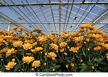 greenhouse with yellow crysanthemums
