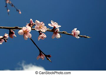 Peach Blossoms - Pink peach tree blossoms pictured against a...