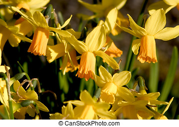 Mass of daffodils - Bunch of golden yellow daffodils