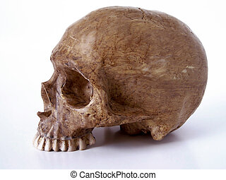 Skull WITH  OUT JAW