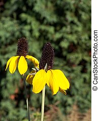 Clasping Coneflower - Pair of Clasping Coneflowers