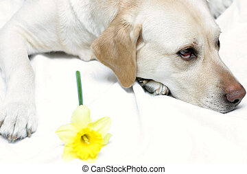 Lab and Daffodil II - Lab posing with yellow daffodil....