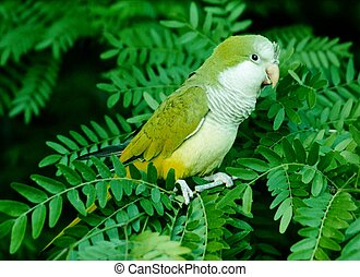 Parrot in a Tree - Green Parrot in a Mimosa Tree note: a bit...