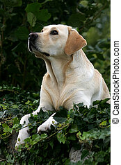 Labrador retriever looking up.